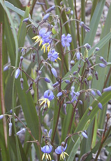 Blue Flax Lily